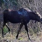 Gigantic moose walks past shocked hikers on woodland trail