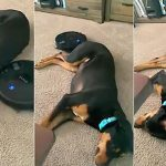 Dog isn't phased at all while robot vacuum works around him