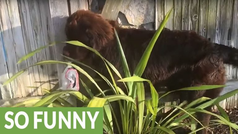 Over-sized puppy tries to hide from owner
