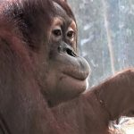 Orangutan drinks water from glass like a human