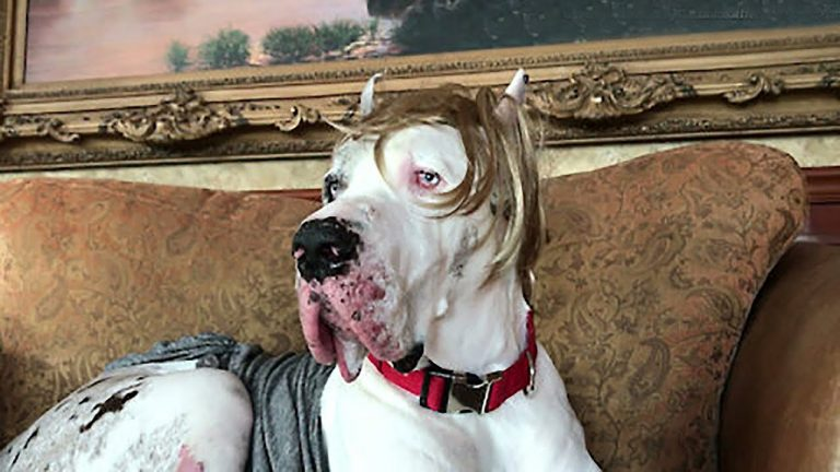 Great Dane shows off his comb over toupee wig