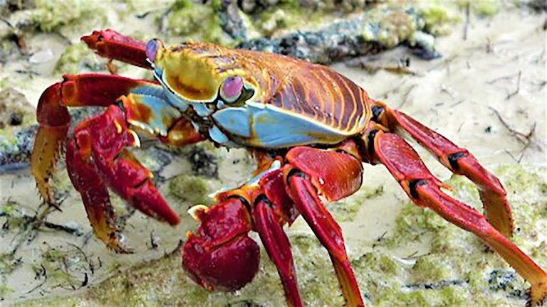 Stunningly beautiful crab cleans the beach in the Galapagos Islands