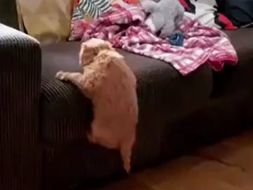 Determined puppy manages to climb on top of the couch