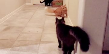 Kung fu feline fighters show off their epic moves