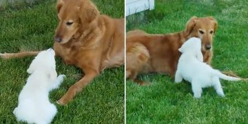 New puppy addition meets family dog for the first time