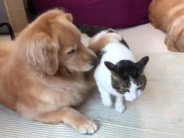 Kitty just can't get enough cuddles from these Golden Retrievers