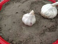 How to Grow Garlic From Garlic | Winter Vegetables | Kitchen Gardening 44