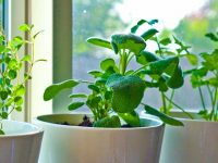 10 Herbs You Can Grow Indoors on Kitchen Counter 16