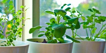 10 Herbs You Can Grow Indoors on Kitchen Counter 2