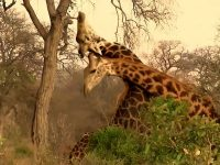 Giraffe bull has intense battle with fellow giraffe