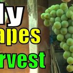 My Grape Harvesting | Plant Life 2 Years Old 1