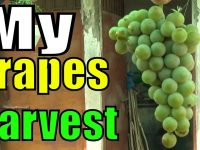 My Grape Harvesting | Plant Life 2 Years Old 10