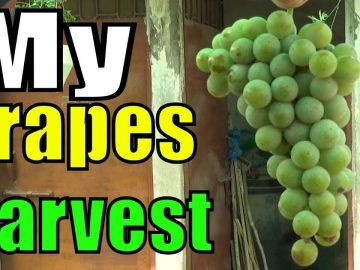 My Grape Harvesting | Plant Life 2 Years Old 4
