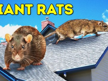 What If Giant Rats Overtook Cities and People Must Go Underground