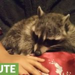 Raccoon refuses to let owner stop petting her