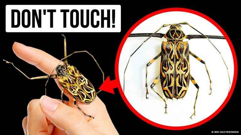 If You Touch This Beetle, You'll Regret It Instantly