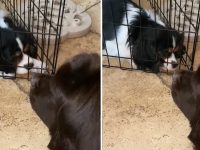 Puppy moves cage to get closer to Newfie bestie
