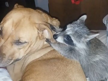 Sweet and gentle dog tolerates playful baby raccoon