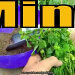 How to Grow Mint From Cuttings | Pudina Ghar Pr Kese Lgain | Easy to Grow 2