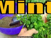 How to Grow Mint From Cuttings | Pudina Ghar Pr Kese Lgain | Easy to Grow 5