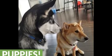 Husky steals treat from hard-working Shiba Inu