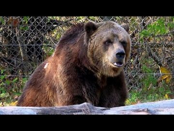 Gigantic grizzly bear plays with a stick like a cub