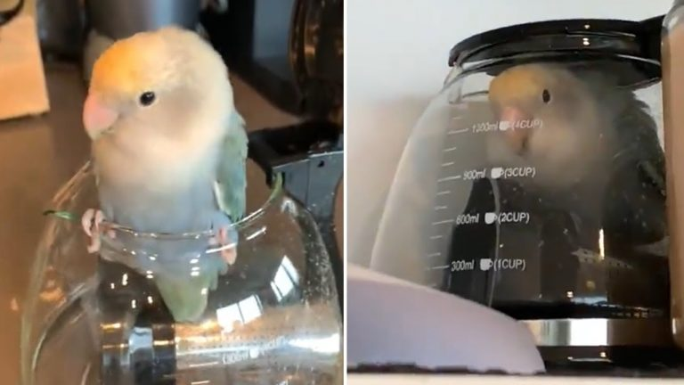 Parrot somehow manages to get stuck inside coffee pot