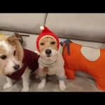 Jack Russell adorably shows off his new winter hat
