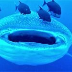 Scuba diver records the gaping mouth of a gigantic whale shark