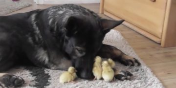 Gentle German Shepherd naps with sweet newborn ducklings