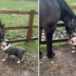 Bulldog puppy shares special bond with horse best friend