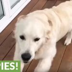 Emotional reunion between dog and owners after weeks apart