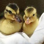 Tired Ducklings Falling Asleep Will Totally Make Your Day