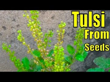 How to Collect and Grow Tulsi Seeds | Result of 42 Days 27