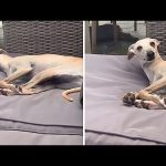 Sleepy greyhound couldn't care less when owner calls his name