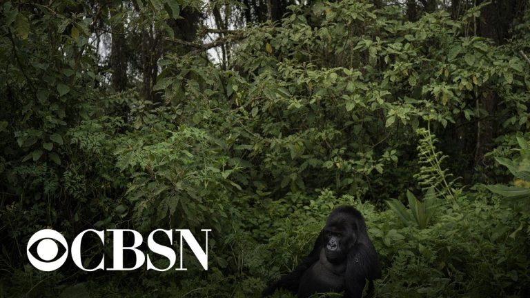 Six park rangers shot and killed in mountain gorilla sanctuary