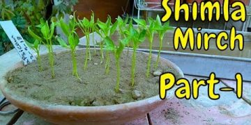 Growing Bell Pepper From Seeds | Winter Vegetable Part-1 4