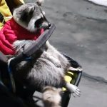 Lazy raccoon refuses to walk, rides in baby stroller instead