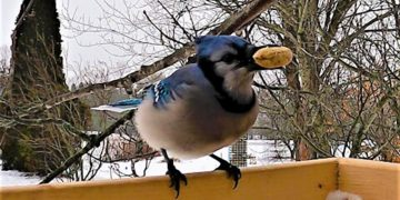 Brightly colored blue jay is extremely picky about his peanuts