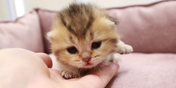 Tiny kittens open their eyes 😻 12th day after birth 3