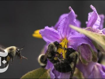 Why Do Bees Buzz? | ScienceTake | The New York Times
