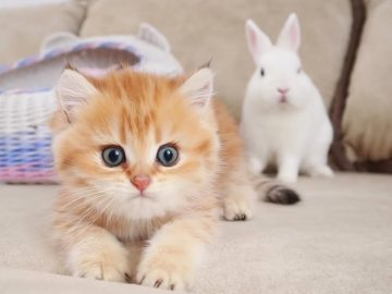 Kittens meets and walk with a cute white bunny