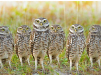 Burrowing owls in Sublette County, Wyoming, USA 2