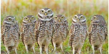 Burrowing owls in Sublette County, Wyoming, USA 6