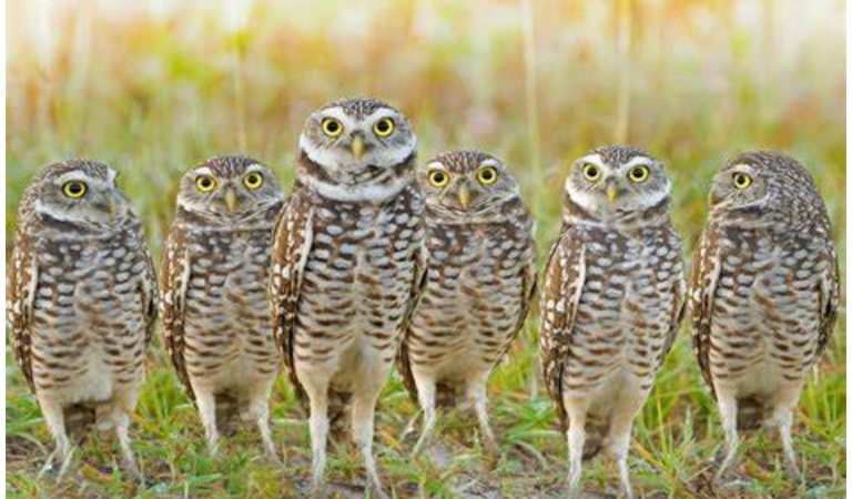 Burrowing owls in Sublette County, Wyoming, USA