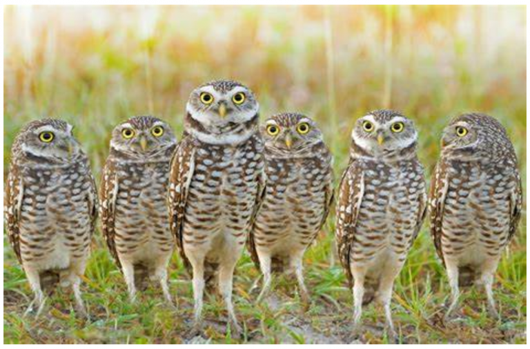 Burrowing owls in Sublette County, Wyoming, USA 1
