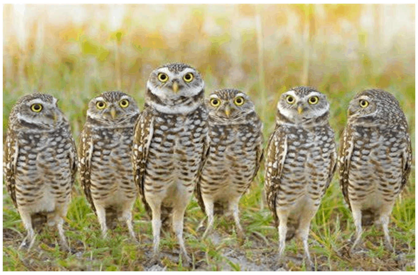 Burrowing owls in Sublette County, Wyoming, USA 5