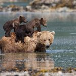 MOTHER BEAR LEAVES CUBS TO DROWN BUT THE CUBS ARE MIRACULOUSLY SAVED 3