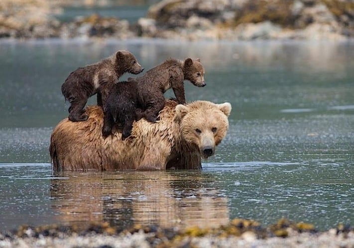 MOTHER BEAR LEAVES CUBS TO DROWN BUT THE CUBS ARE MIRACULOUSLY SAVED 1