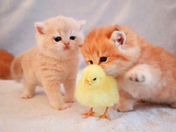Kittens walk with a tiny chicken